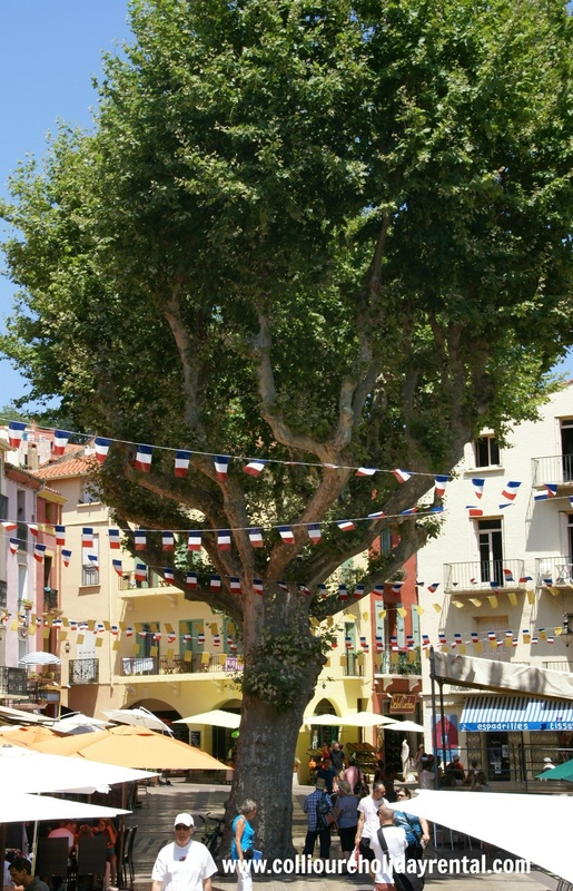 Olive tree in Collioure